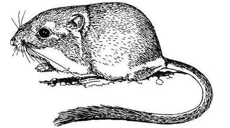 Animal Removal Professionals Rodents Kangaroo Rats